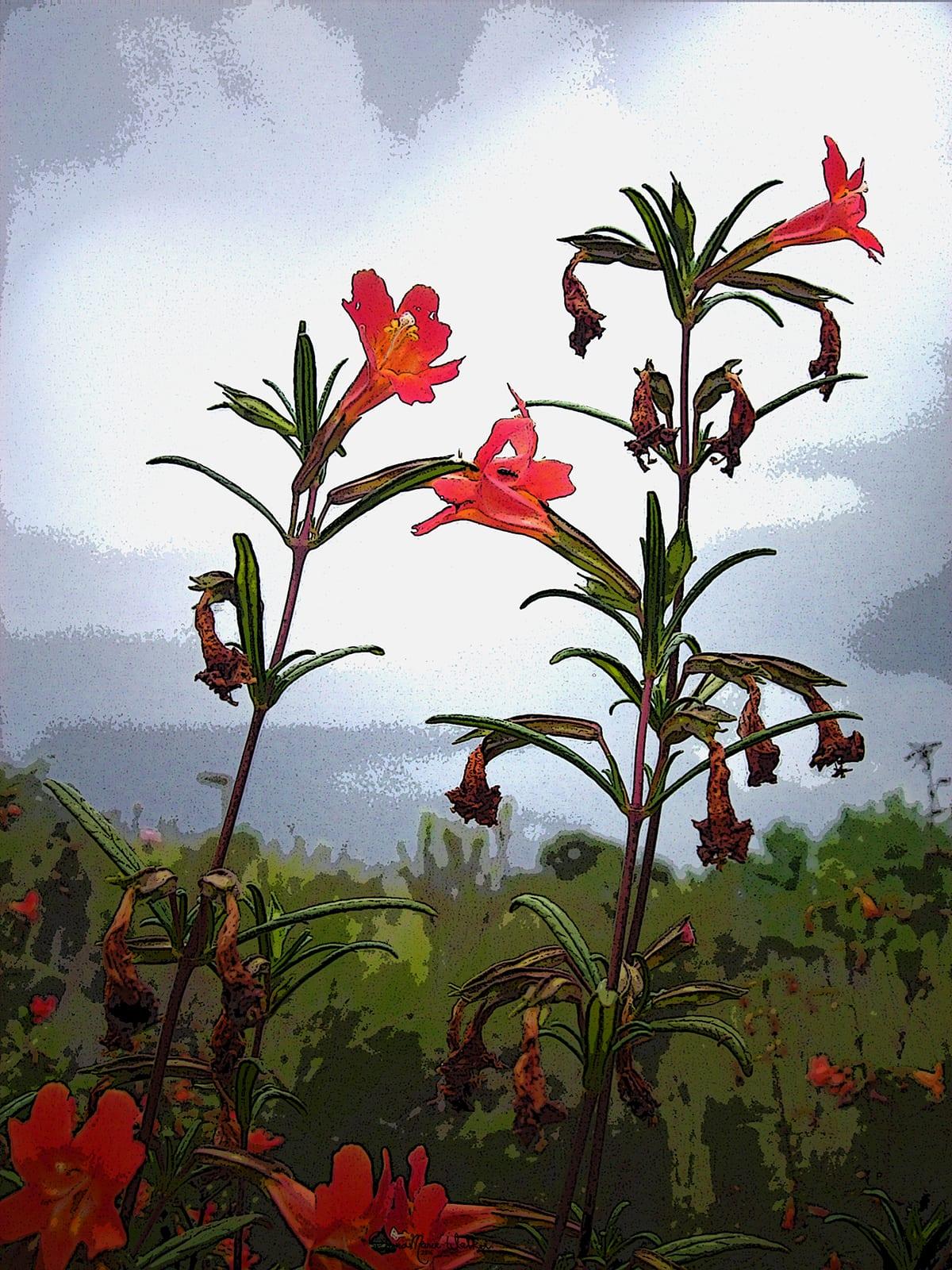 Sticky Monkeyflower (Mimulus aurantiacus)