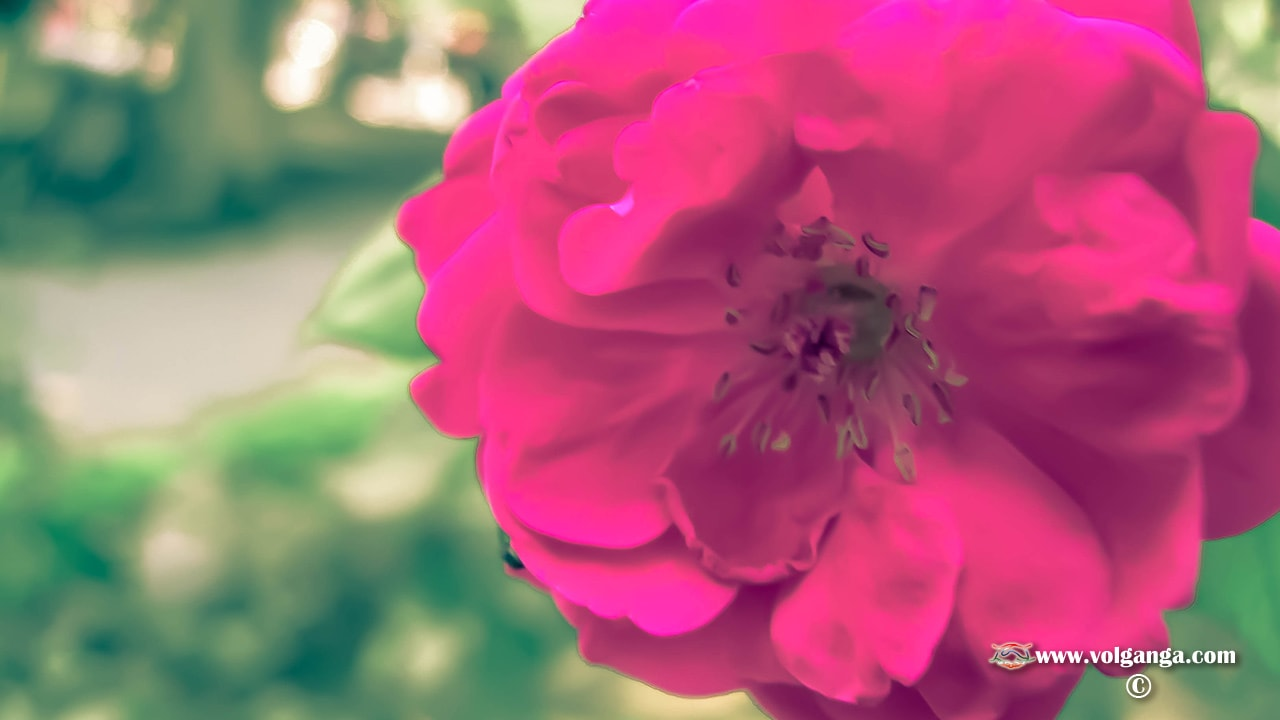 pink rosy