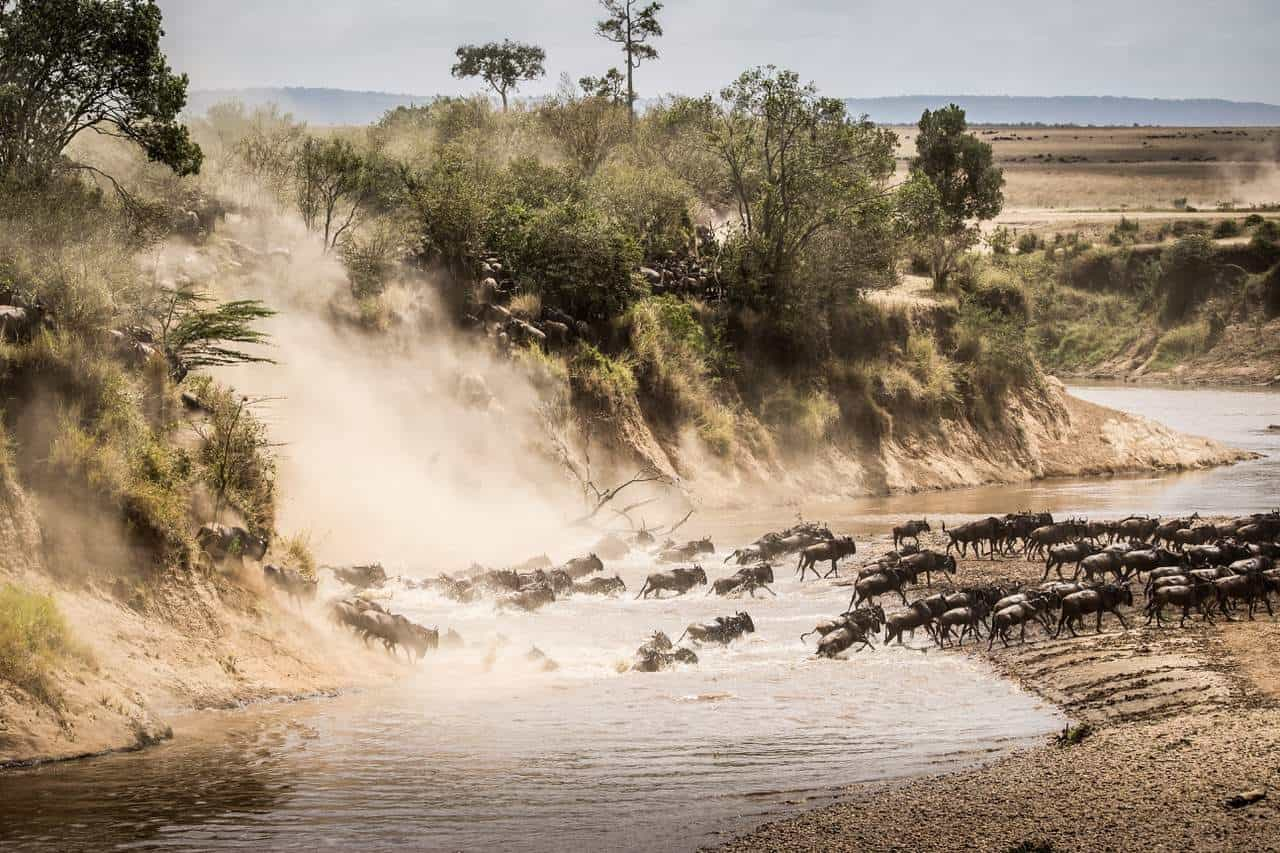 Wildebeest crossing the Mara river in the Masai Mara Game Reserve FotoClass