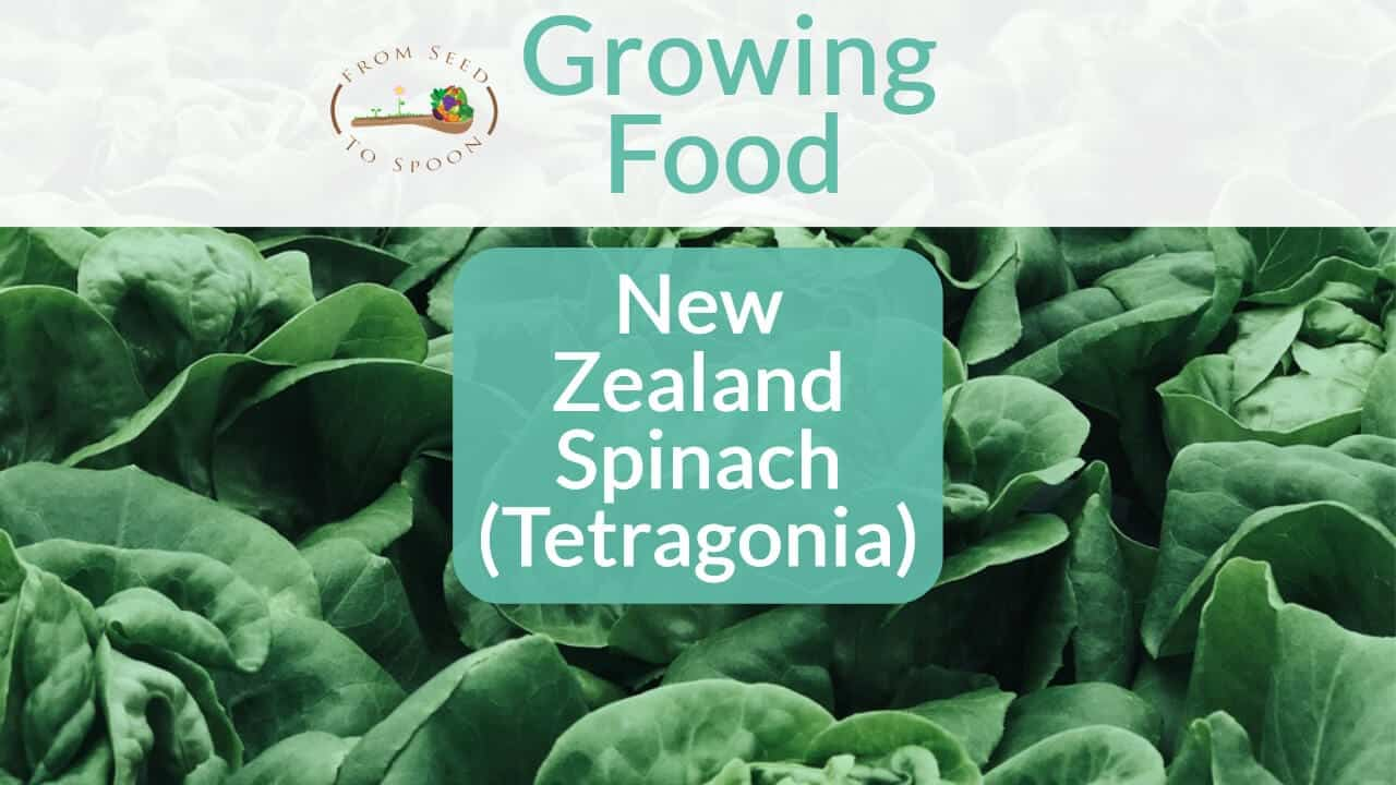 NewZealandSpinach blog post