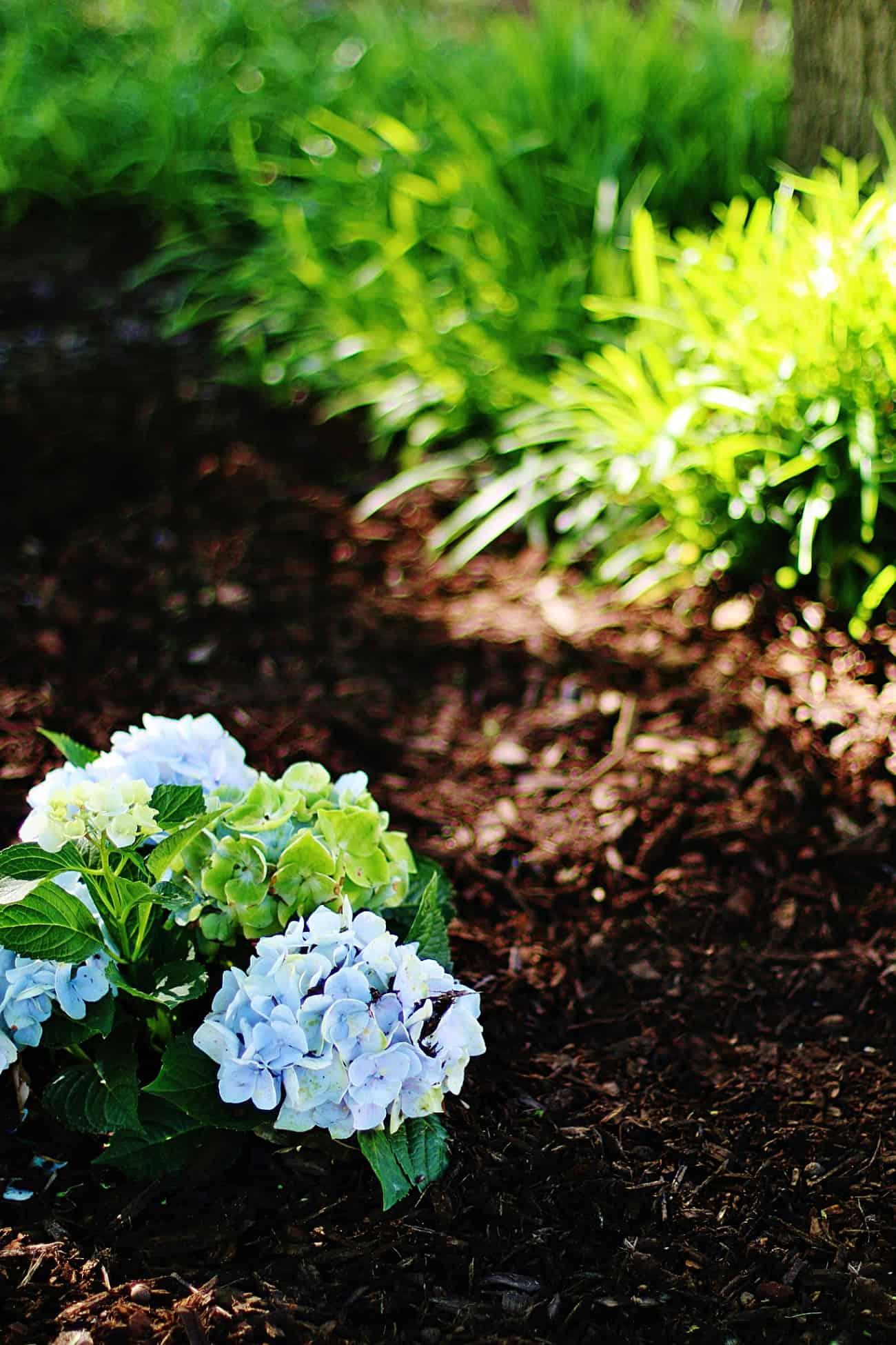 growing hydrangeas in Texas blue hydrangeas