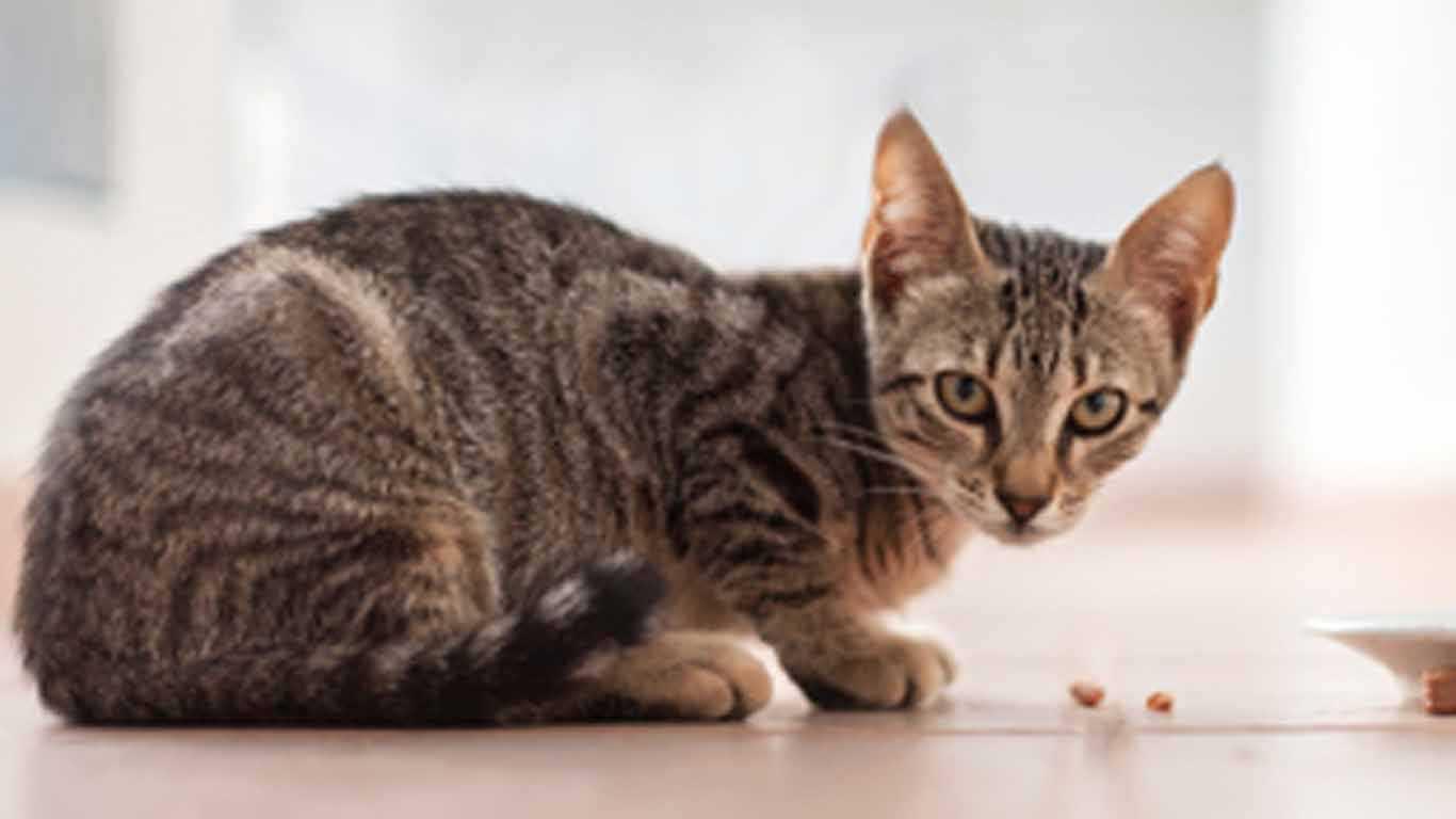 Nama Kucing Jantan Bahasa Jawa 81021 Nama Untuk Kucing Comel Lucu Dan Unik
