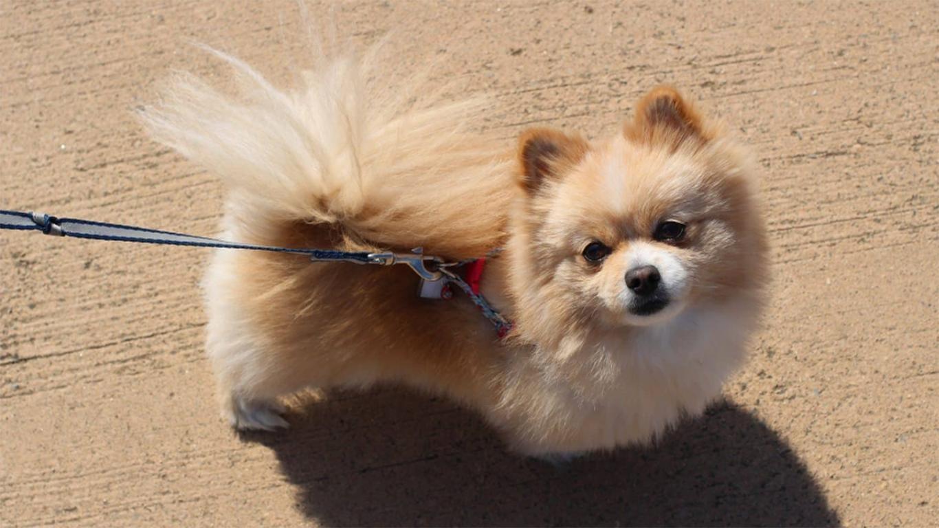jual anjing mini pom