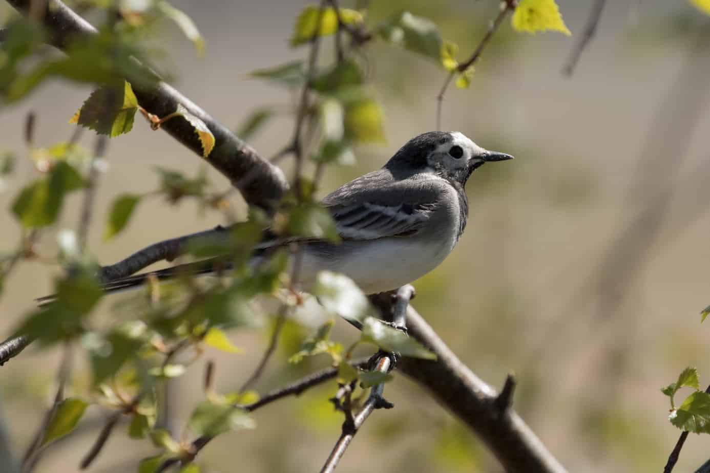 White Wagtail @ Northern Øyeren Nature Reserve, Norway. Photo: Håvard Rosenlund