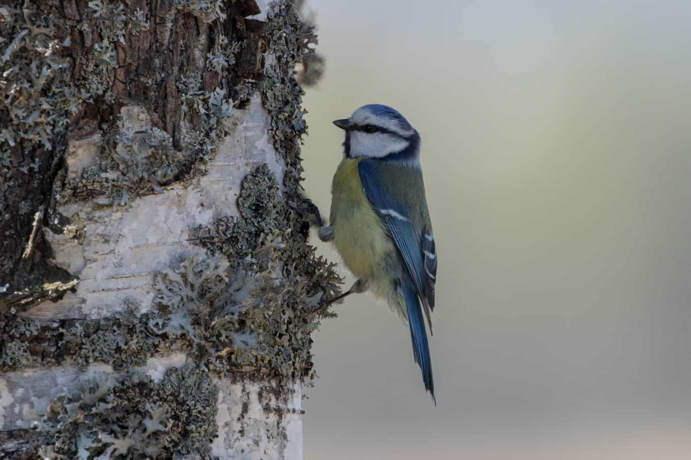 Eurasian Blue Tit @ Northern Øyeren Nature Reserve, Norway. Photo: Håvard Rosenlund