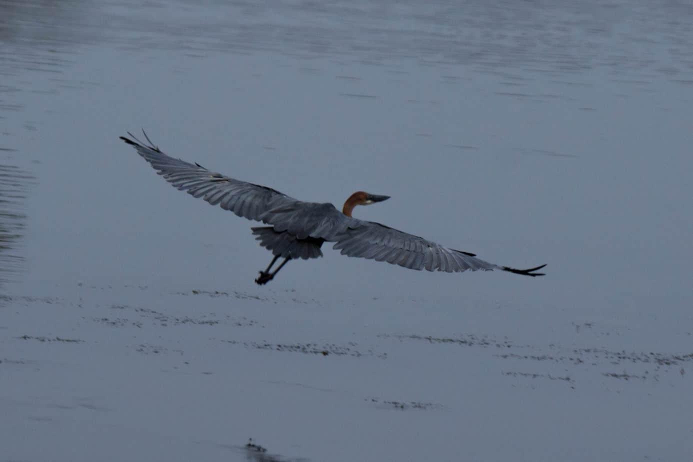Goliath Heron @ Ndumo Game Reserve. Photo: Håvard Rosenlund