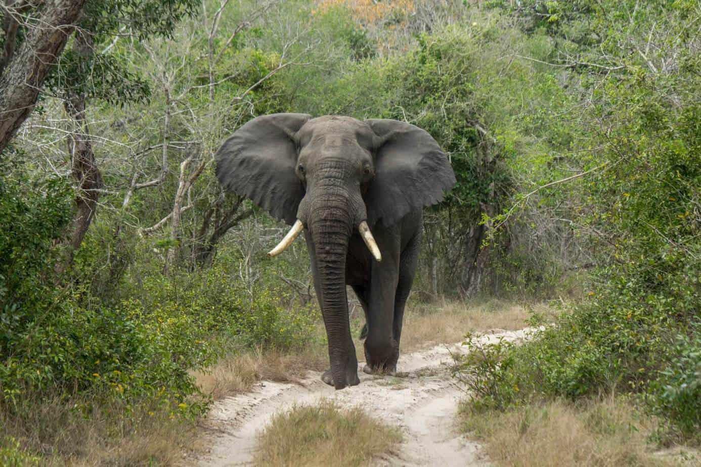 African Bush Elephant @ Tembe Elephant Park. Photo: Håvard Rosenlund