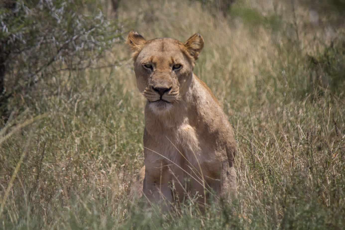 Lioness @ Hluhluwe-iMfolozi Park. Photo: Håvard Rosenlund