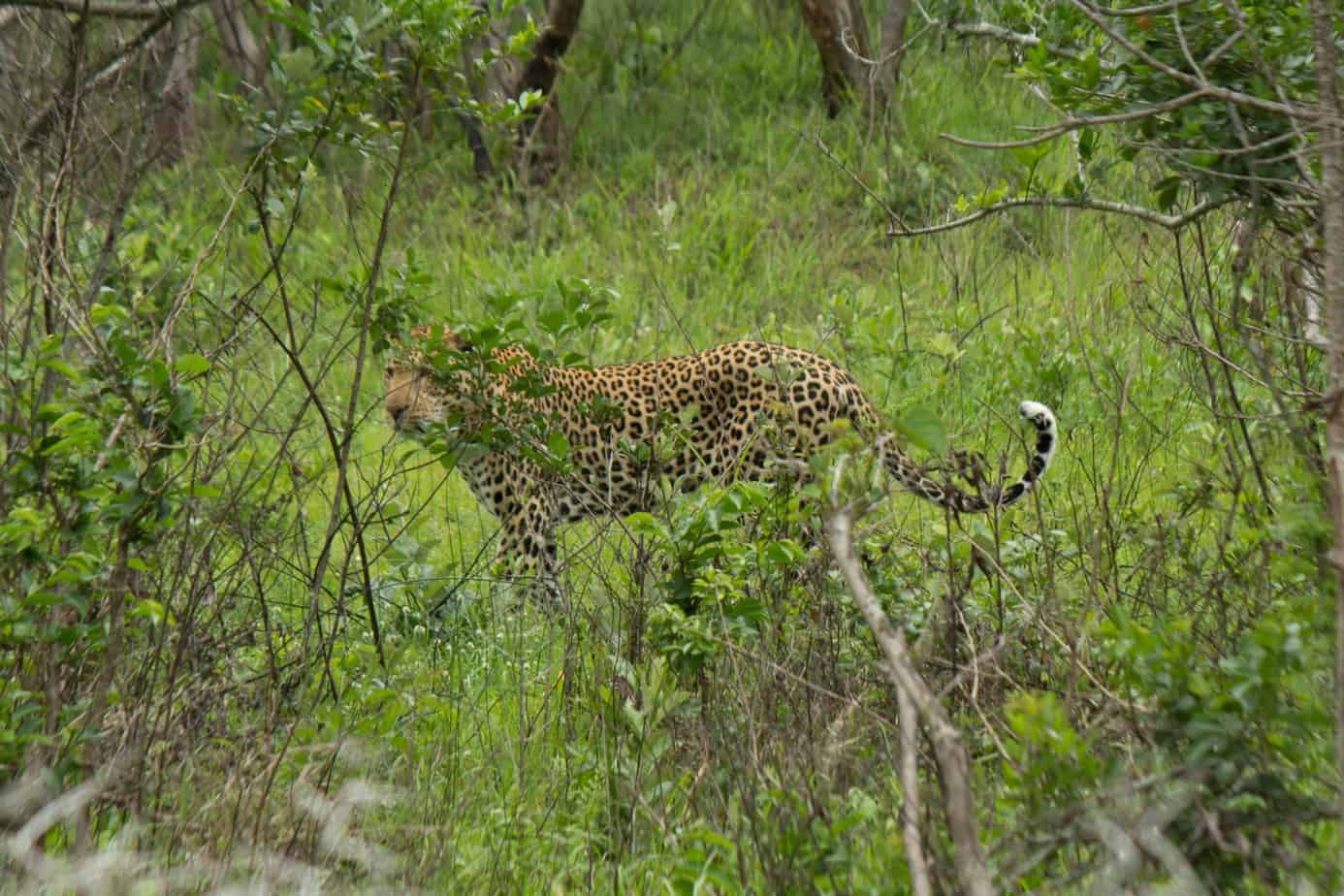 Afrikansk Leopard @ Eastern Shores – iSimangaliso Wetland Park. Foto: Håvard Rosenlund