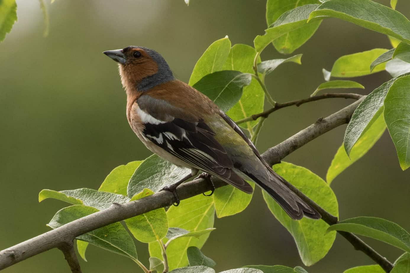 Common Chaffinch @ Nittedal, Norway. Photo: Håvard Rosenlund