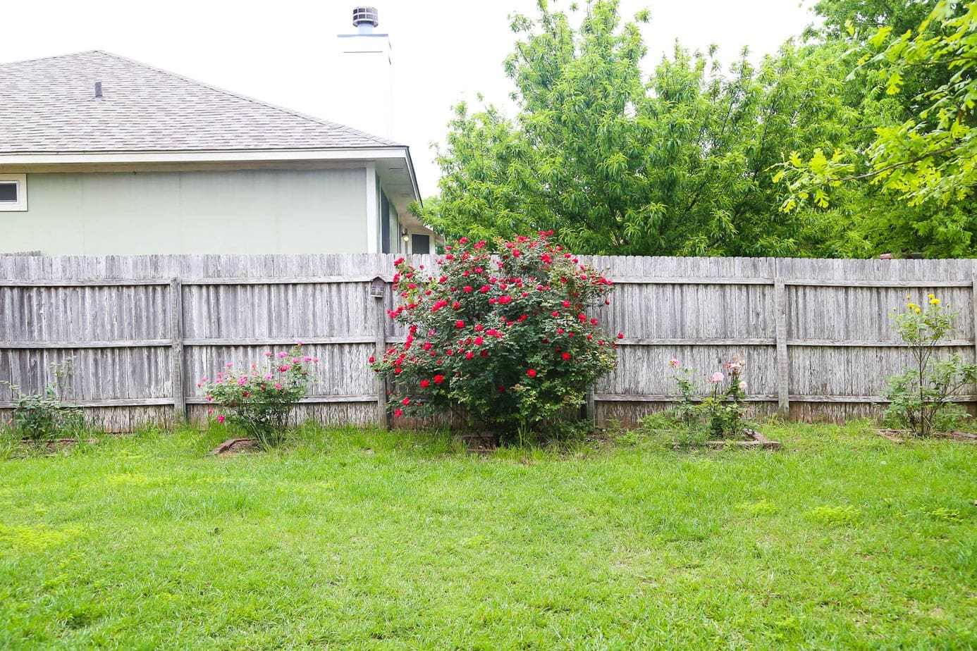 Row of rose bushes