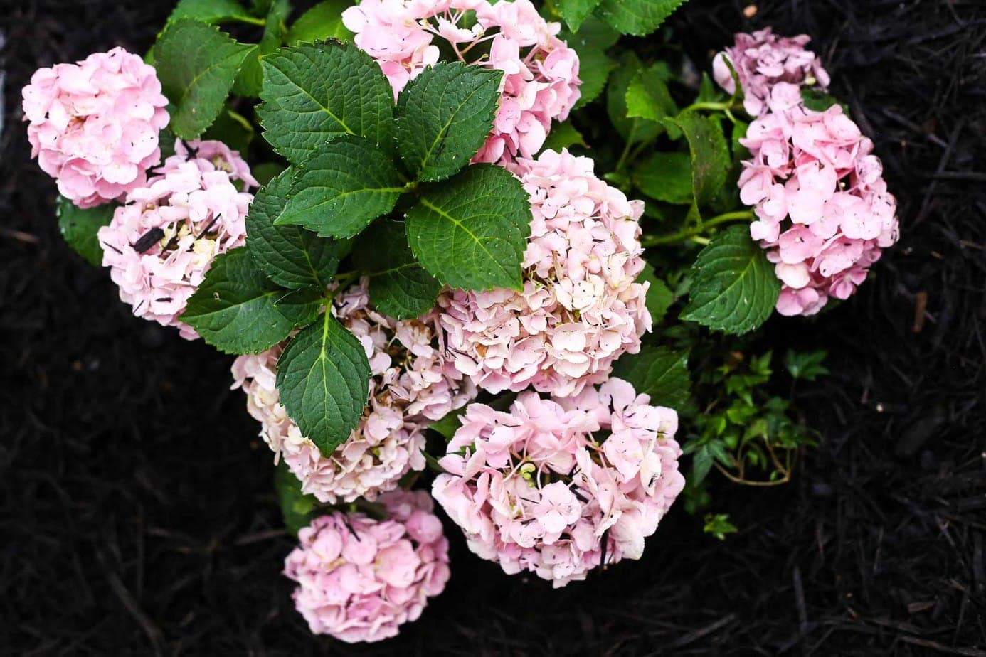 Hydrangeas in front flower bed