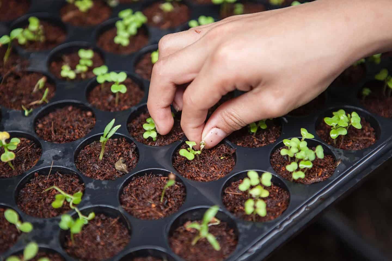 sustainable garden tips - planting seedlings