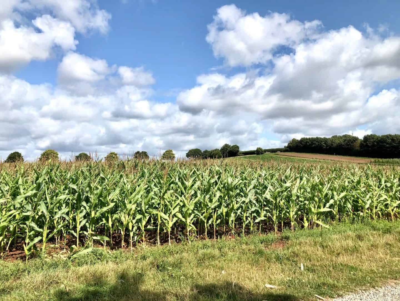 Maize-Field-at-Darts-Farm