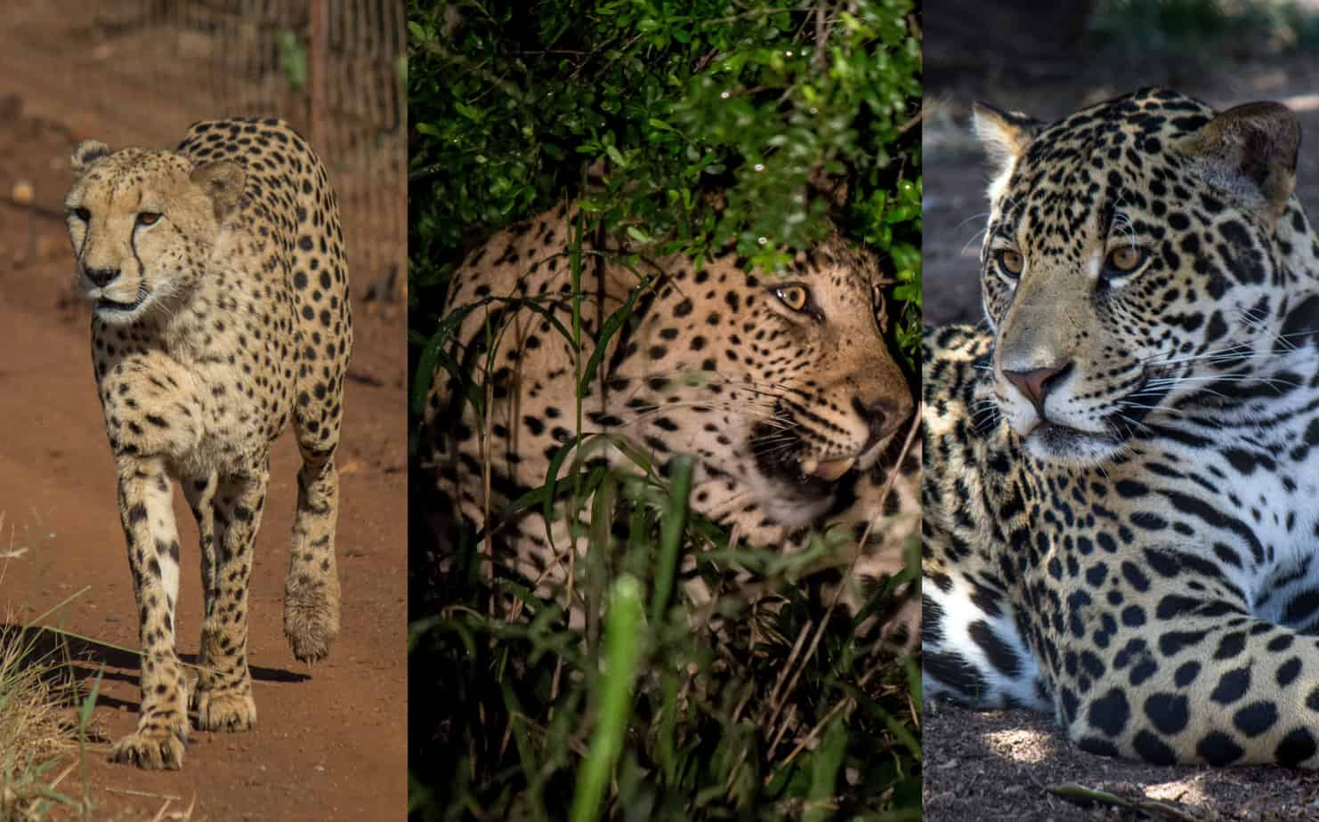 Large Spotted Cats