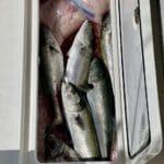 Black Sea Bass and Bluefish Cape Cod
