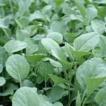When to Plant Spinach in Texas