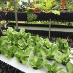 Deep Water Culture with Aquaponics - Biogarden