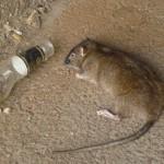 Quejas de ratas en barrio de los Remedio en Sevilla