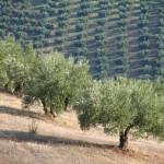 Una plaga de insectos en Italia una de las causas que dispara el precio del aceite de oliva.