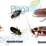 Tipos de cucarachas domésticas que podemos encontrar en Andalucía