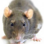 Plaga de ratas invaden los Jardines del Parque Cristina en Sevilla