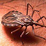 Las chinches que muerden la boca y contagian el mal de Chagas llegan a España