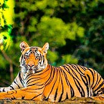About 50 numbers of Royal Bengal Tigers increased in the Sundarbans