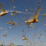 Monsoon winds reduce fears of locust infestations in India