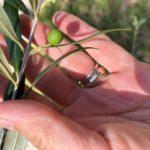 JD's homegrown olives