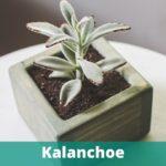 Die Kalanchoe Tomentosa ist noch nicht so bekannt bei uns.