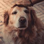 hond artrose