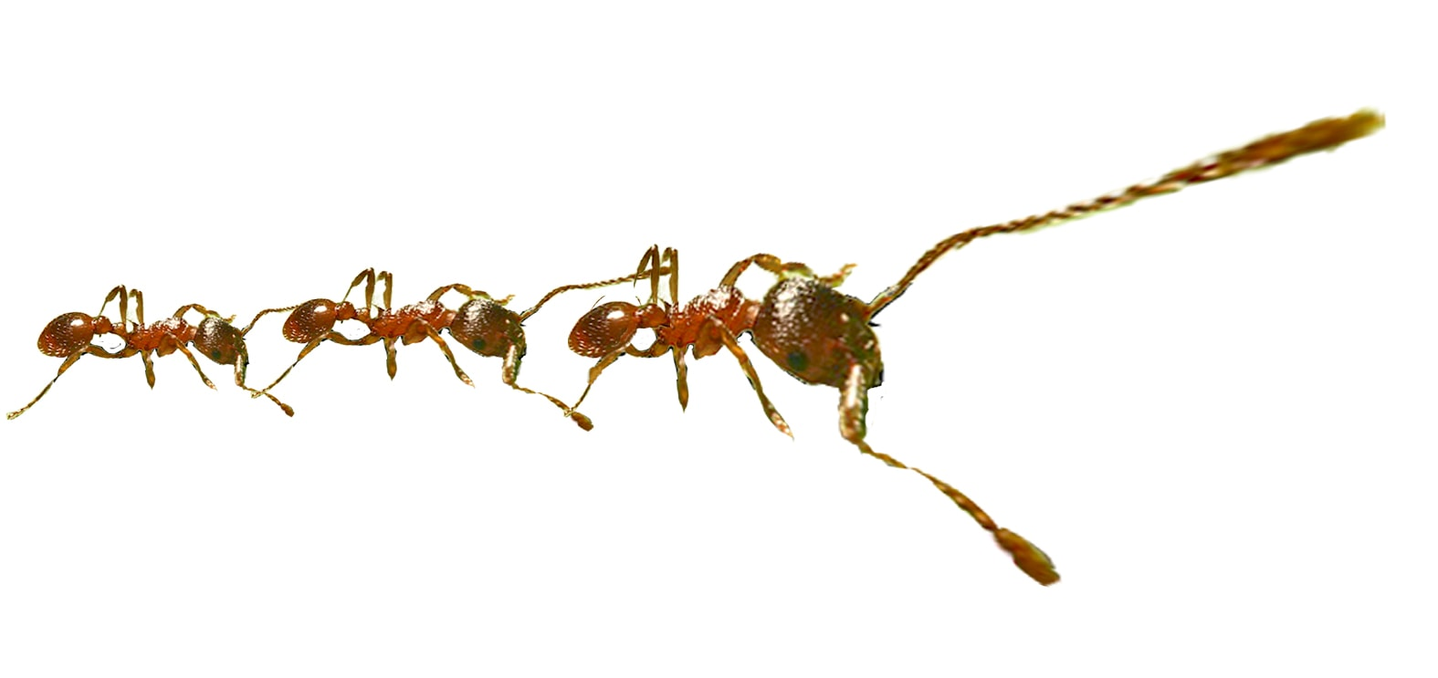Got ants? We have organic solutions for dealing with ants!
