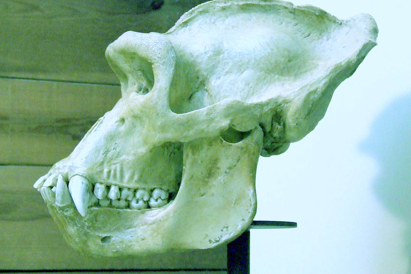 ERuDeF: Eight Gorilla Skulls Discovered in Batibo