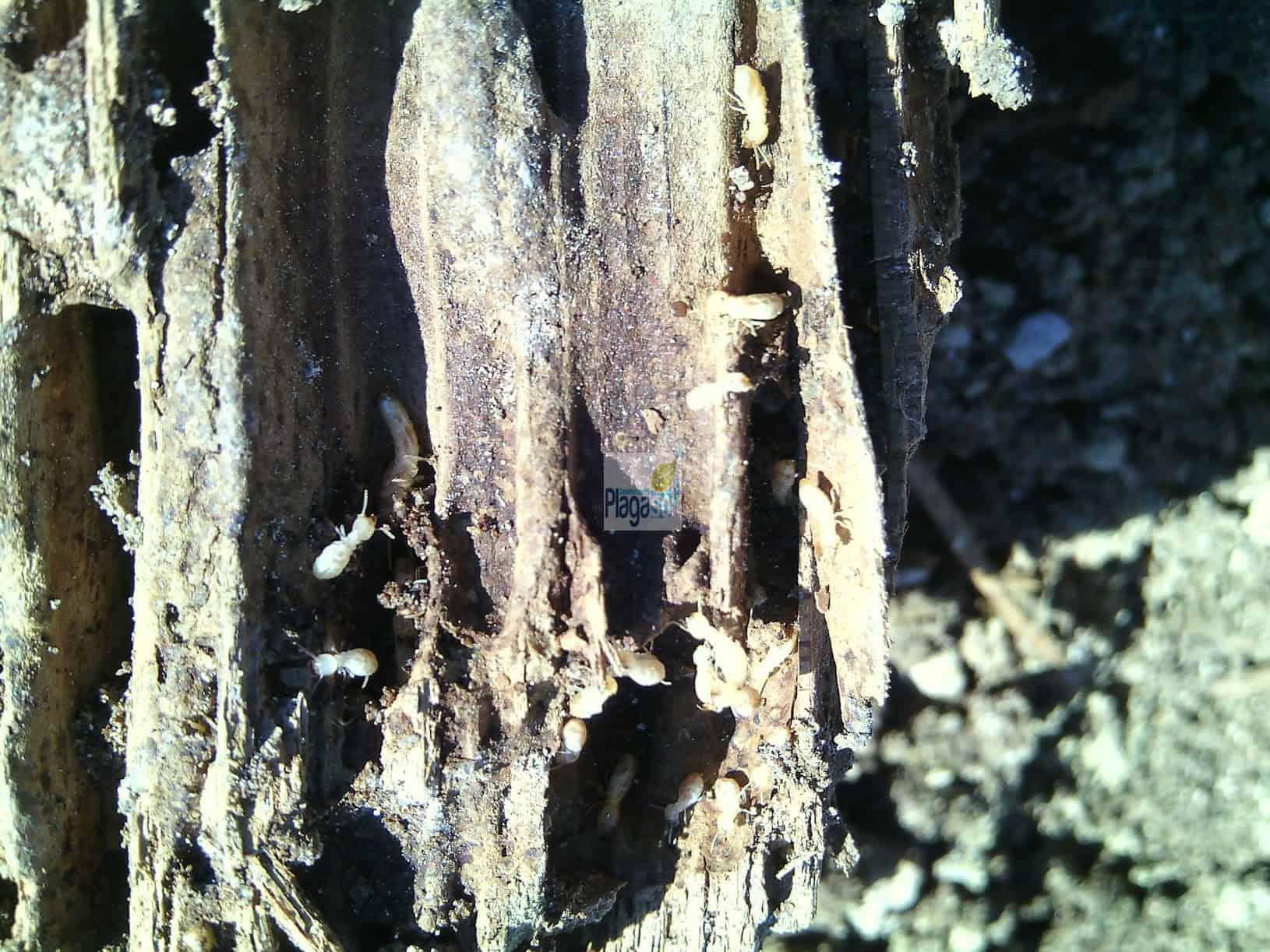 Plaga de termitas en la madera