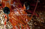 Picture of Candy Cane Shrimp