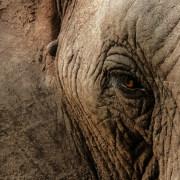 close-up eye of an elephant