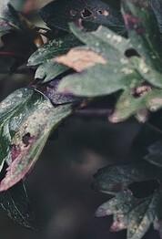 pianta malata