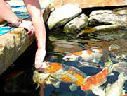 строительство декоративного пруда карпы кои едят с рук