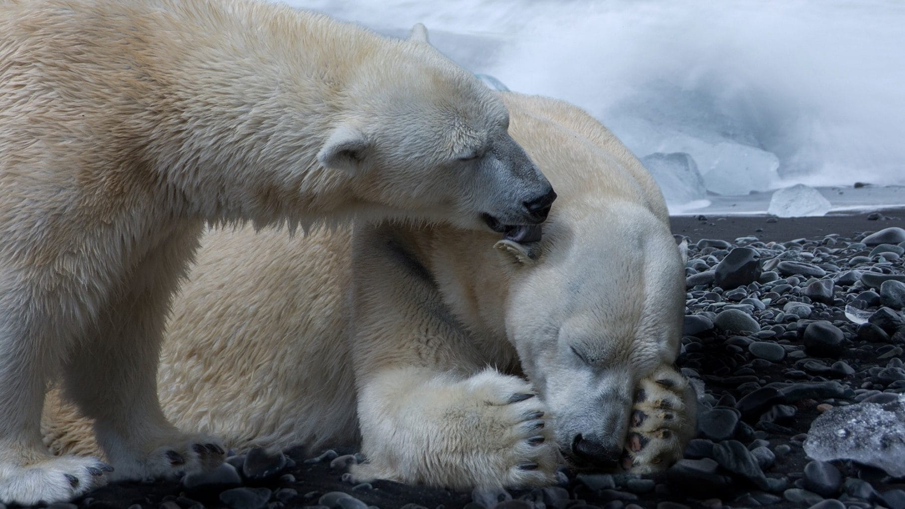 Image: Two polar bears, one sleeping and the other licking its ear