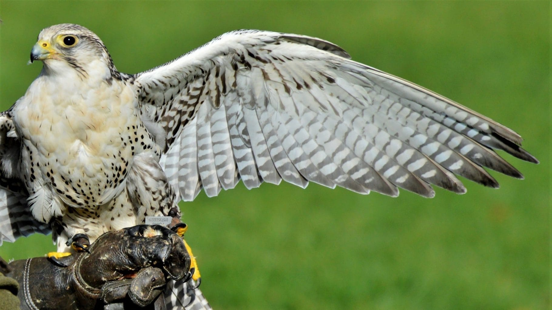 Image: Falcon on a handlers hand