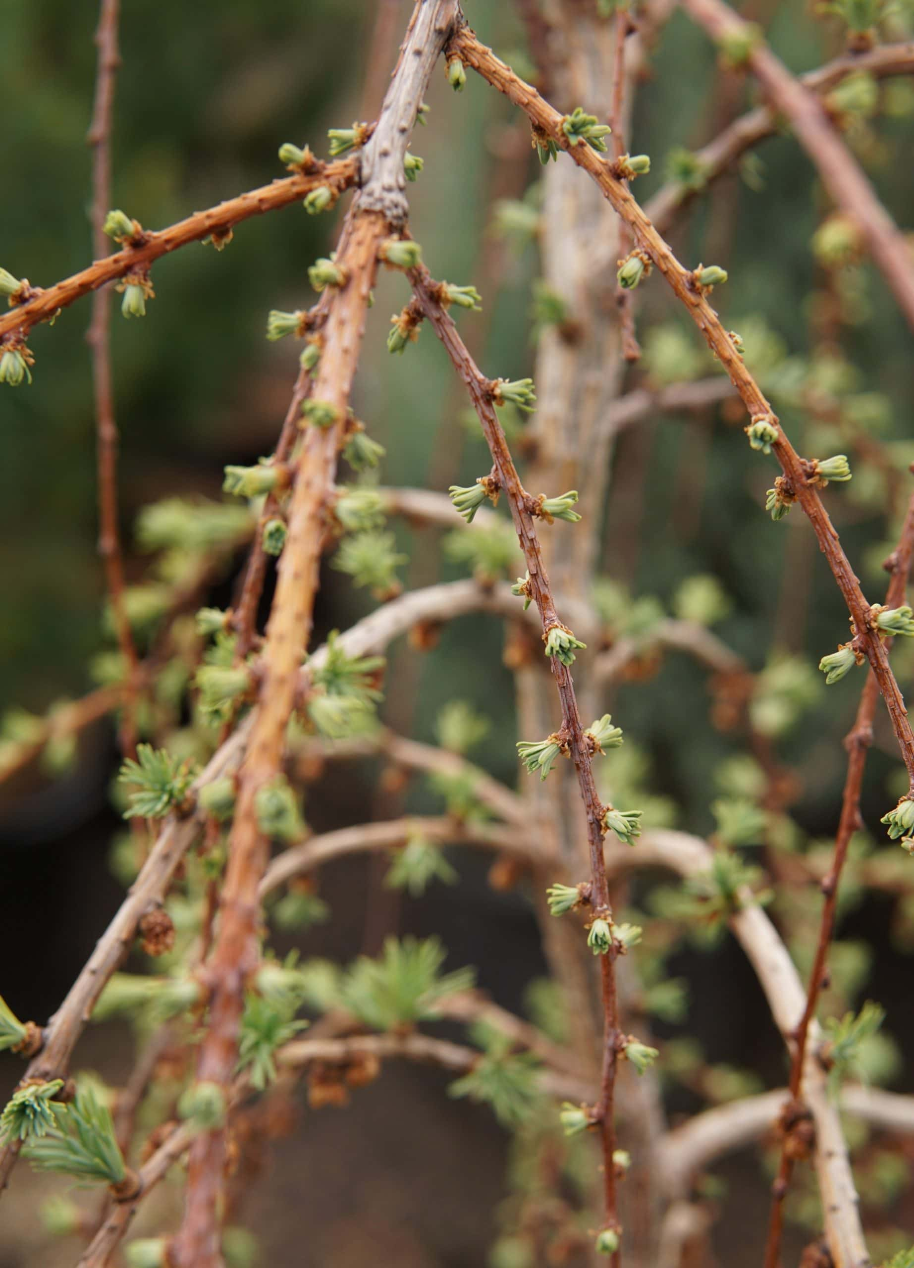 Weeping Larch buds