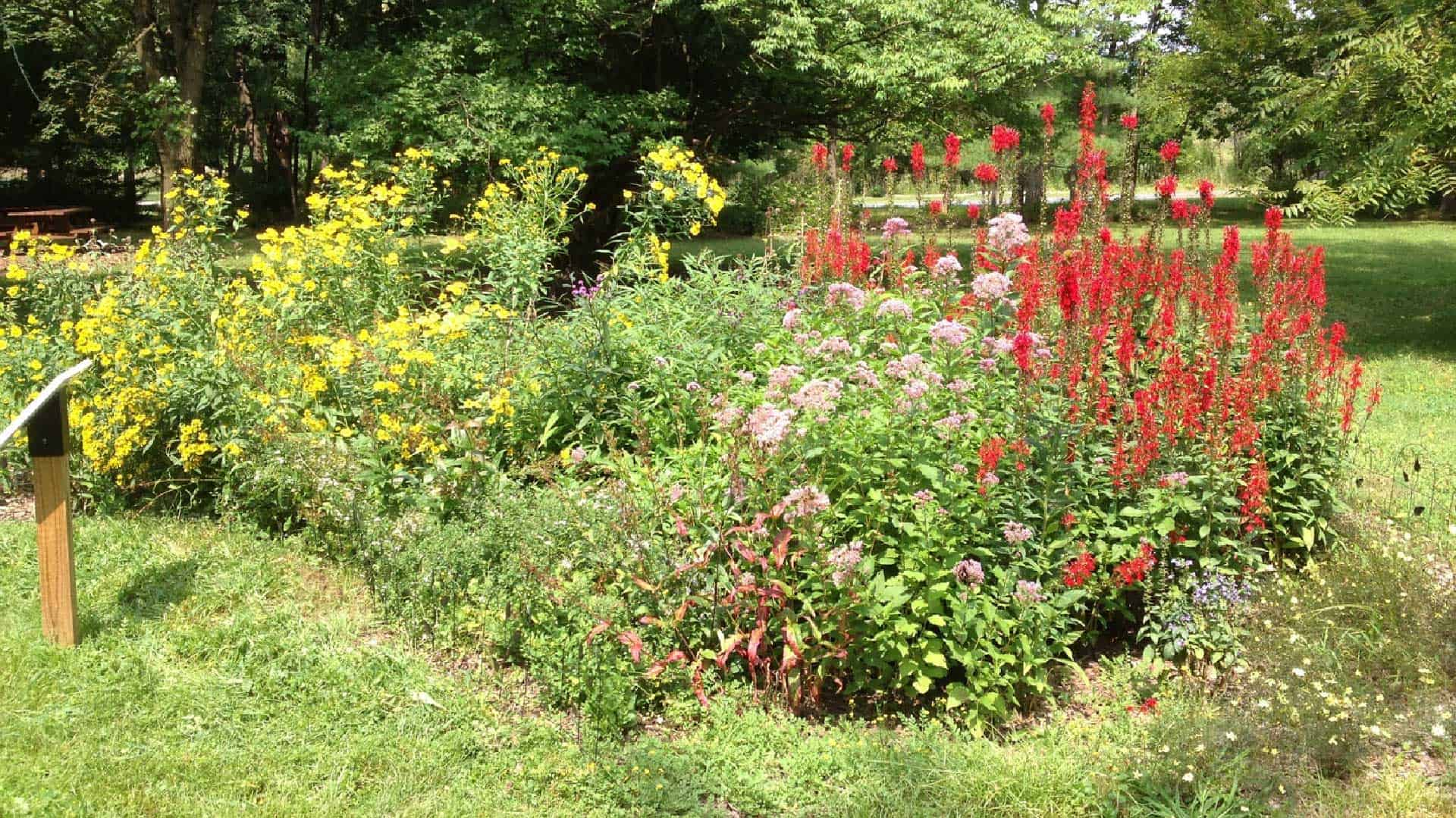 Rain garden native plants with yellow, red and pink flowers.