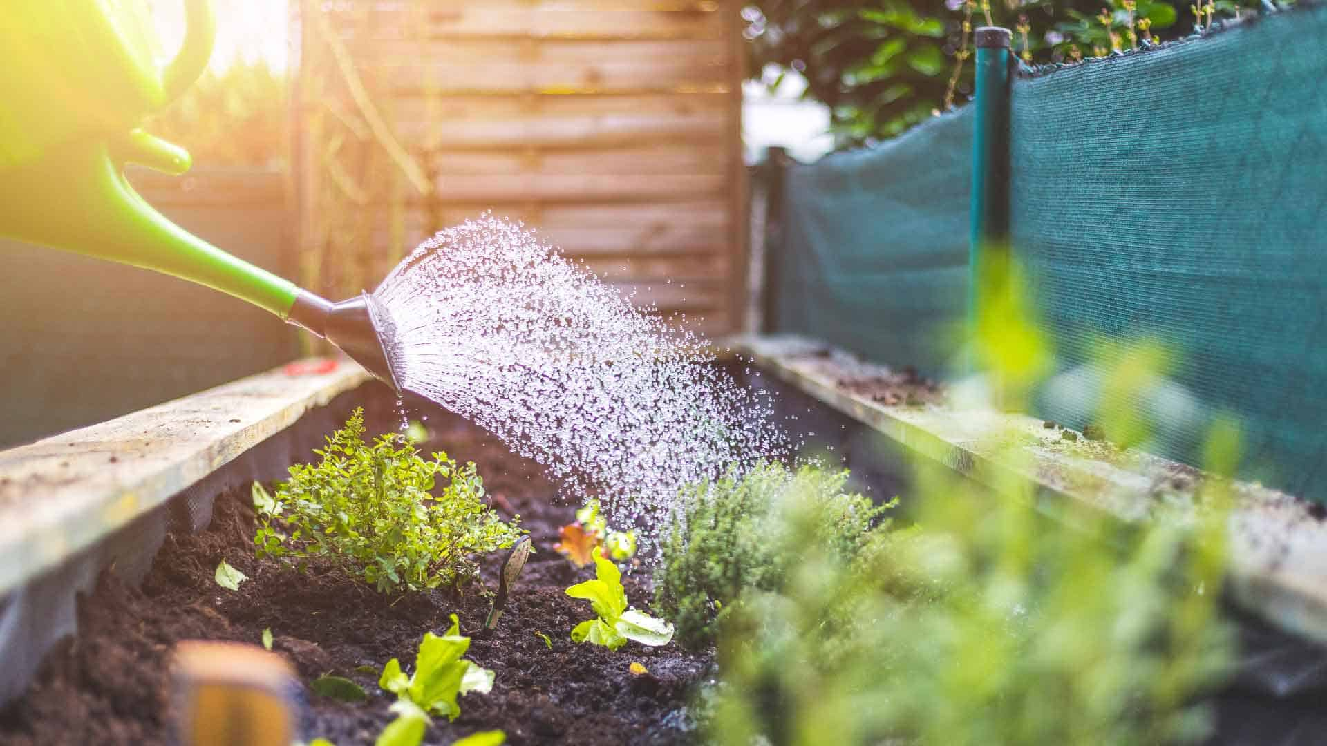 Watering raised bed vegetable garden.