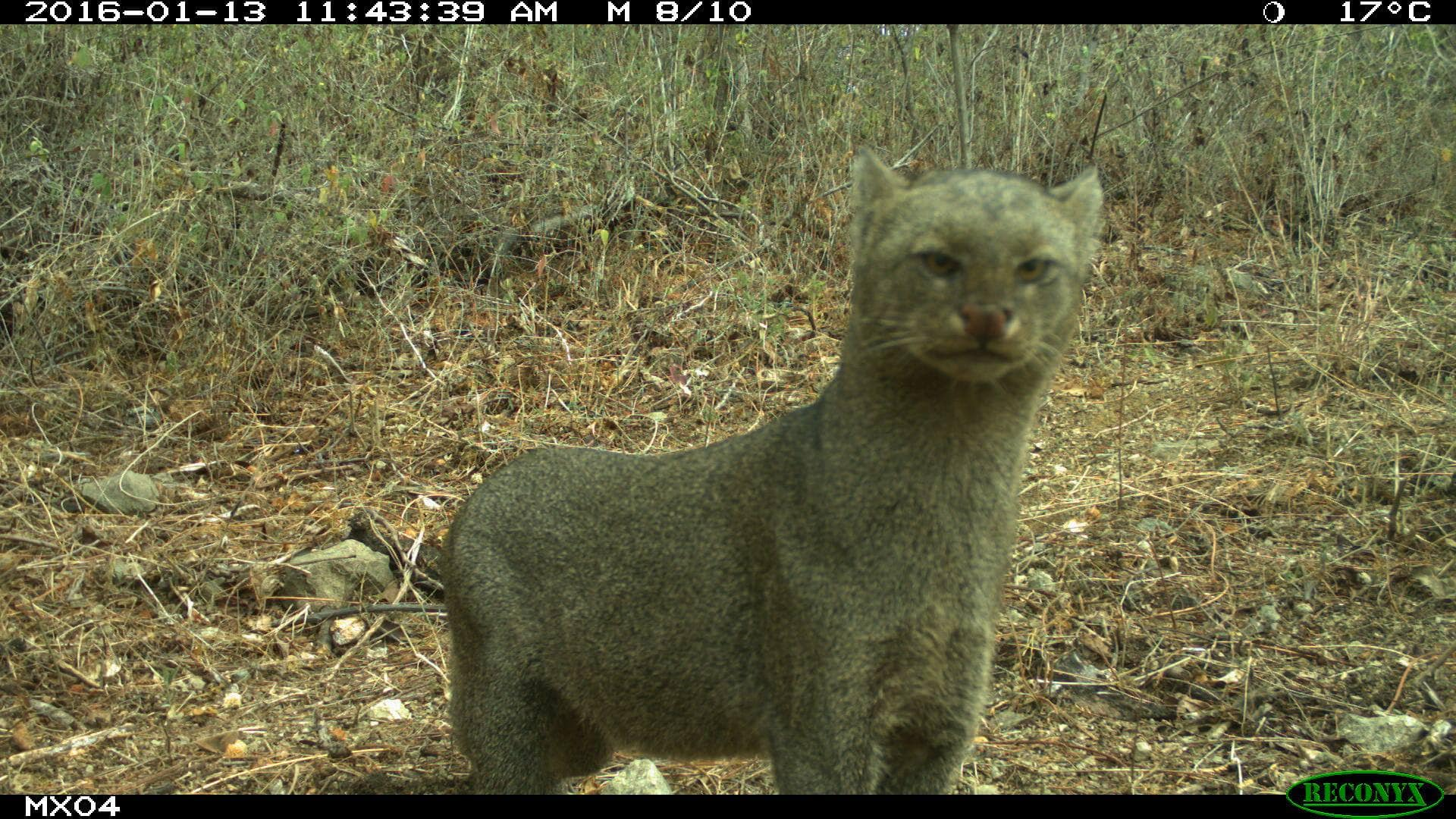 Jaguarundi Camera Trap Photos from Mexico