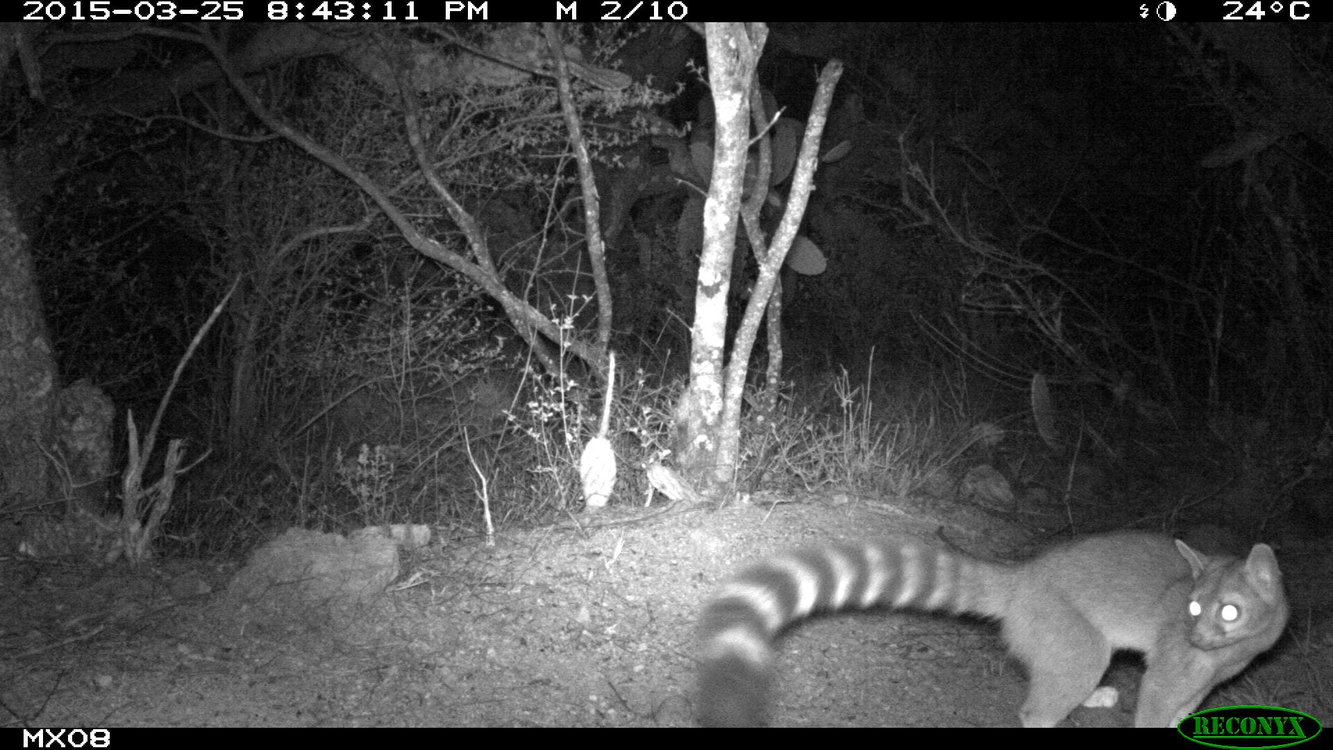 ringtail Camera Trap Photos from Mexico