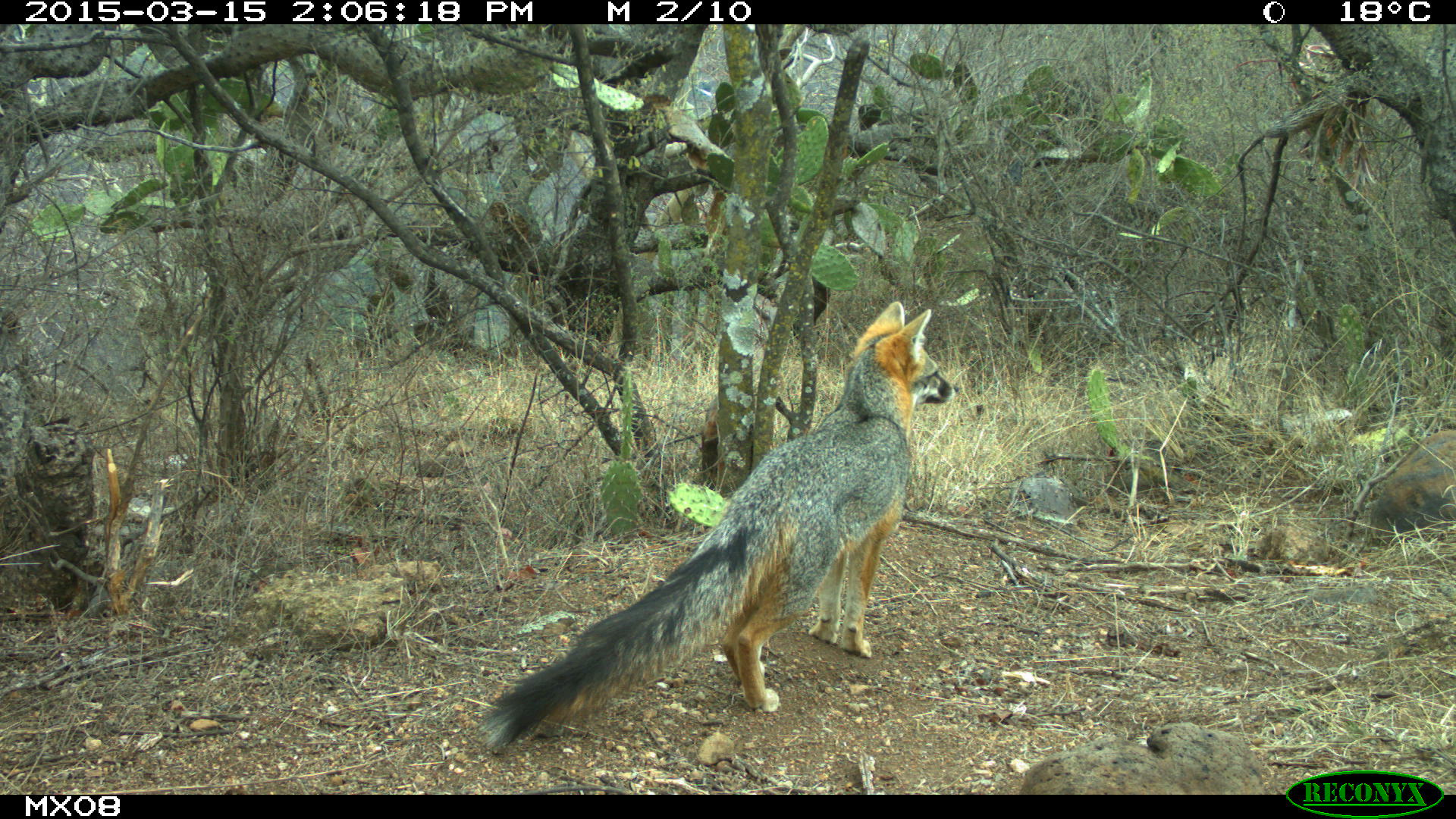 grey fox Camera Trap Photos from Mexico