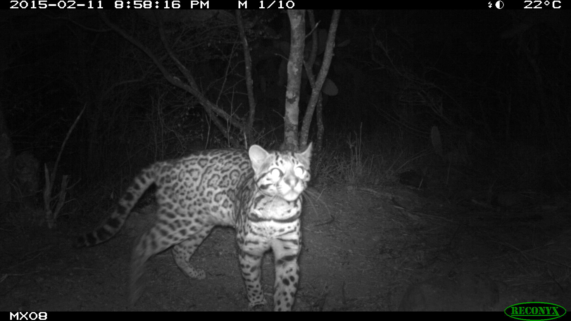 ocelot Camera Trap Photos from Mexico