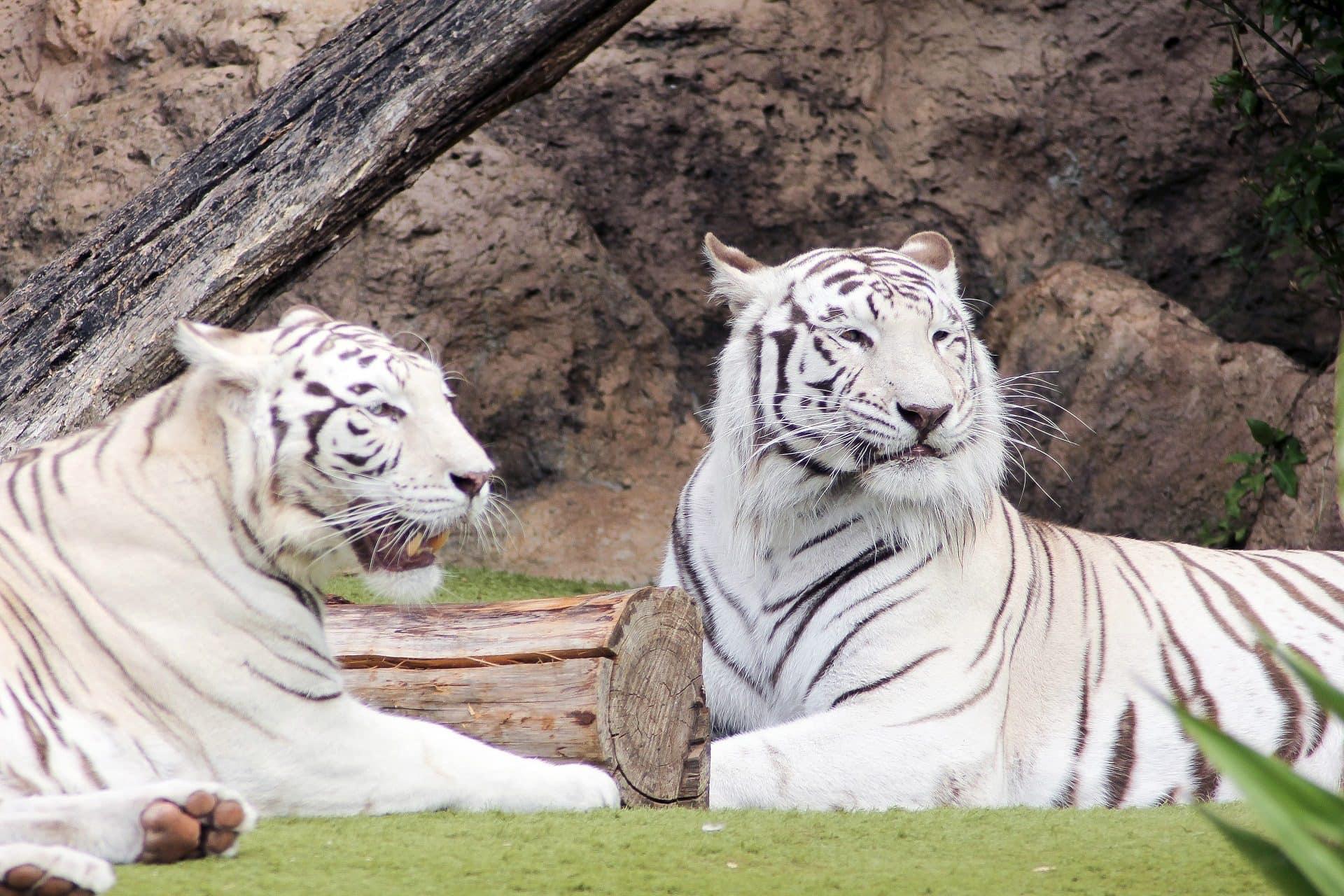 Bílý tygr v Loro Parque