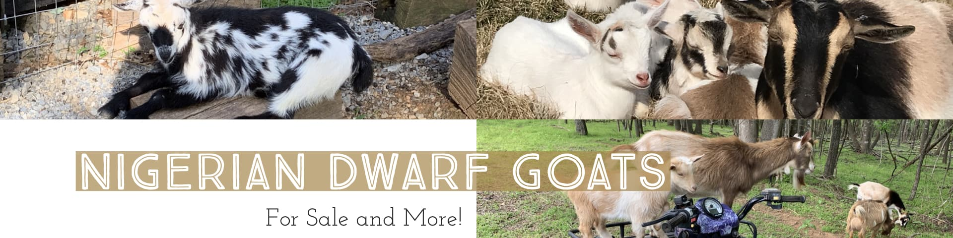 Seven Gables Farm Nigerian Dwarf Goat Banner